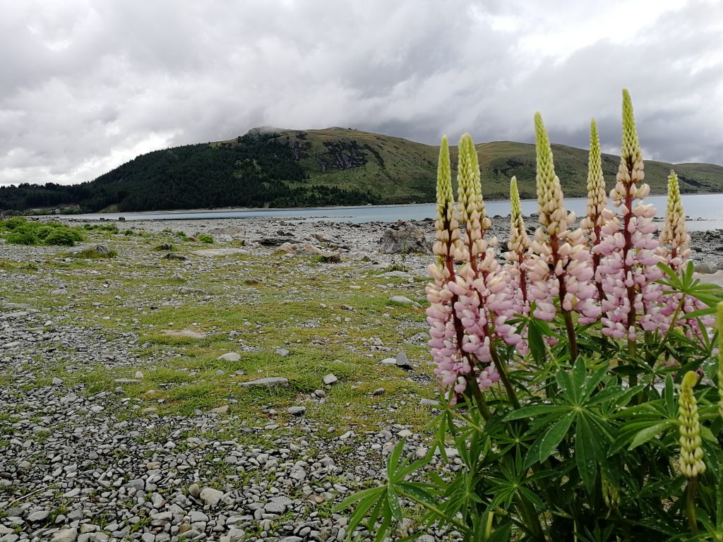 Lupinen  am Ufer des Lake Tekapo