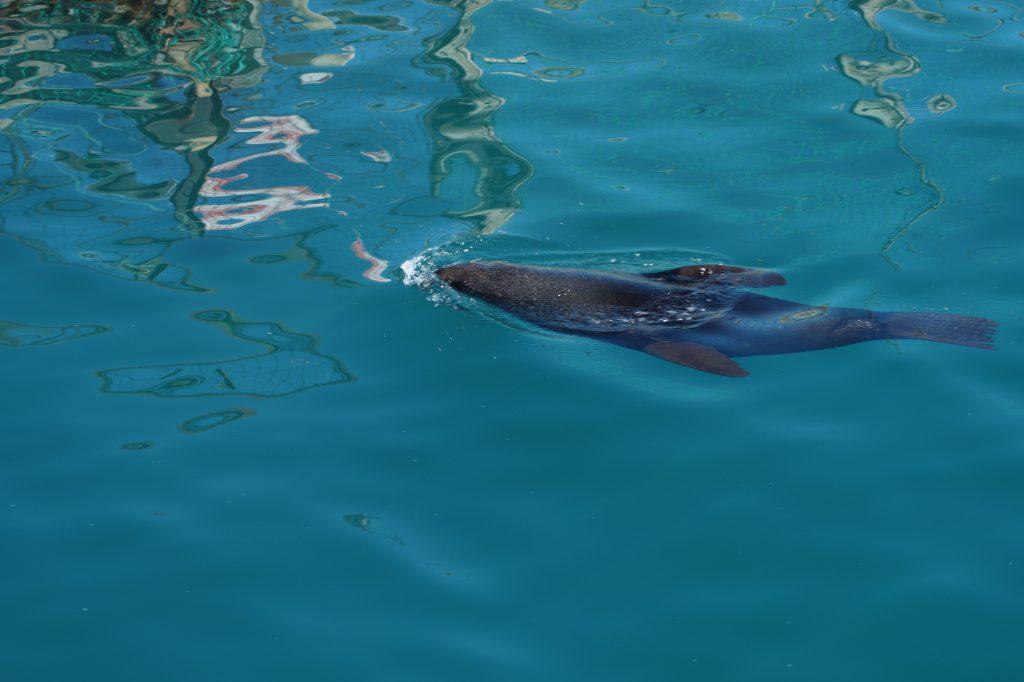 Seehunde im Queen Charlotte Sound auf dem Weg zum  im Queen Charlotte Track