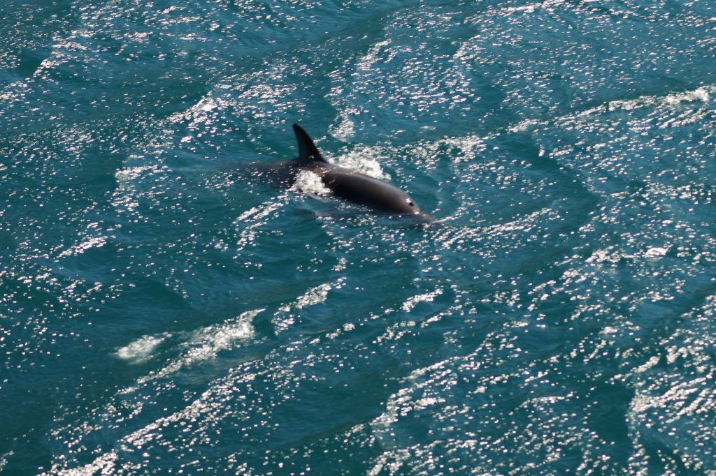 Hector Delfin im Queen Charlotte Sound auf dem Weg zum  im Queen Charlotte Track