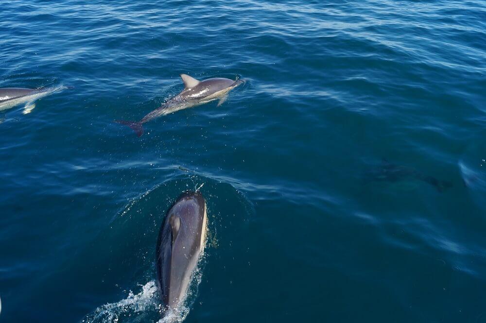Delfine in Tauranga in Neuseeland