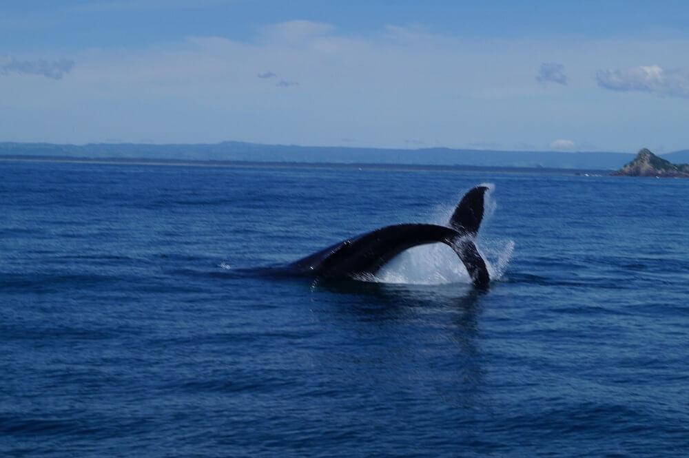 Buckelwal in Neuseeland