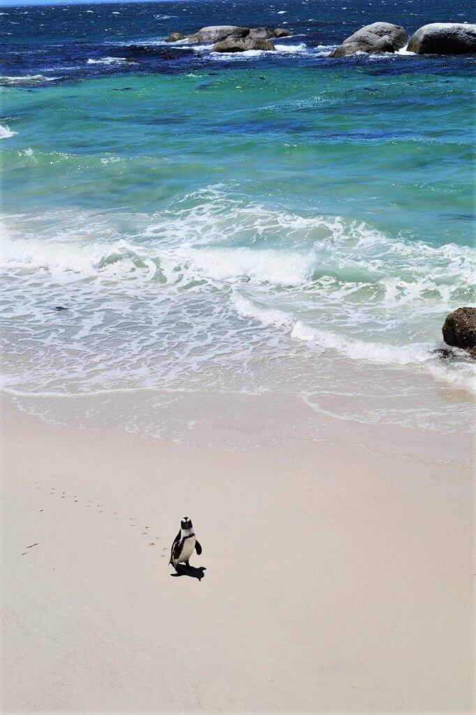 Pinguin am Boulders Beach